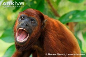 Colombian-red-howler-monkey-mouth-open